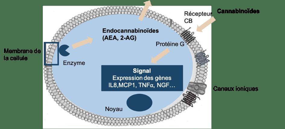 Schéma système endocannabinoide sur LaFleur